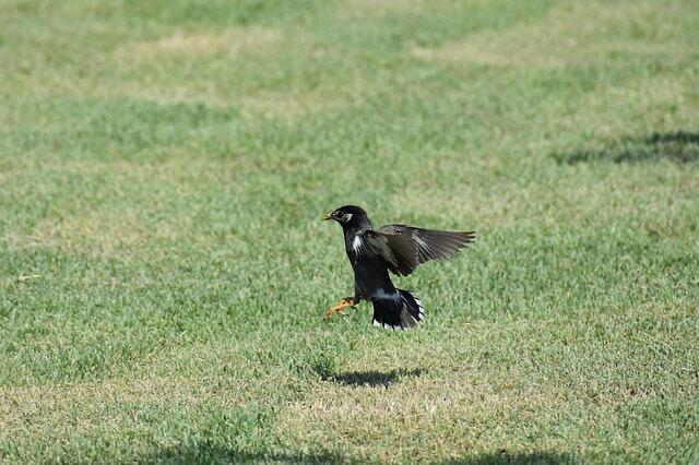 芝生に着陸する黒い鳥